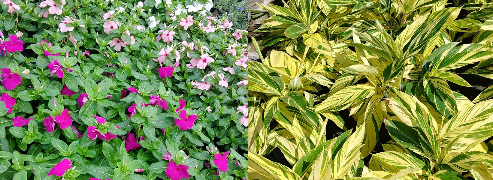 Pachyphytum Plant Service